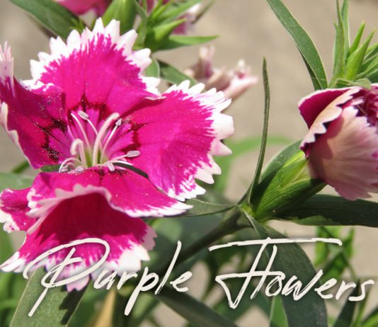 5 Free Purple Flowers Photos