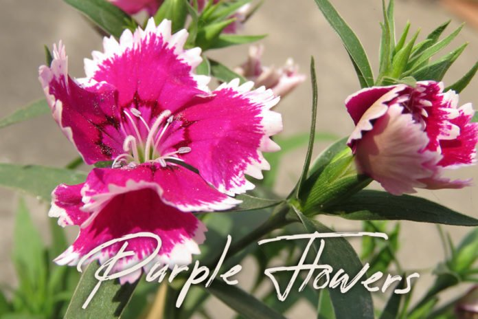 5 Free Purple Flowers Photos